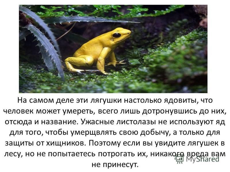 На самом деле эти лягушки настолько ядовиты, что человек может умереть, всего лишь дотронувшись до них, отсюда и название. Ужасные листолазы не используют яд для того, чтобы умерщвлять свою добычу, а только для защиты от хищников. Поэтому если вы уви