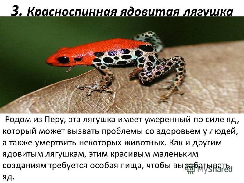 3. Красноспинная ядовитая лягушка Родом из Перу, эта лягушка имеет умеренный по силе яд, который может вызвать проблемы со здоровьем у людей, а также умертвить некоторых животных. Как и другим ядовитым лягушкам, этим красивым маленьким созданиям треб