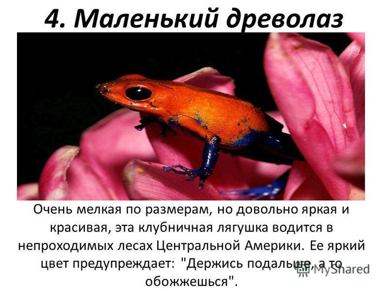 4. Маленький древолаз Очень мелкая по размерам, но довольно яркая и красивая, эта клубничная лягушка водится в непроходимых лесах Центральной Америки. Ее яркий цвет предупреждает: Держись подальше, а то обожжешься.