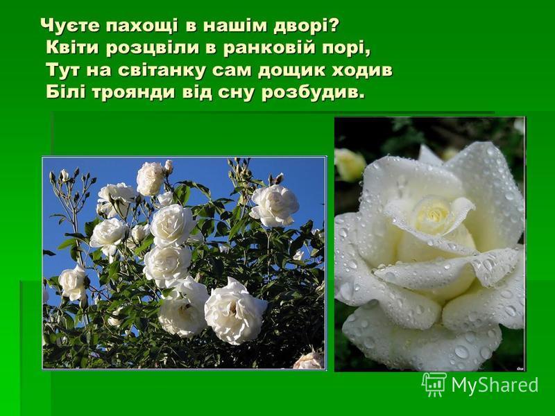 Чуєте пахощі в нашім дворі? Квіти розцвіли в ранковій порі, Тут на світанку сам дощик ходив Білі троянди від сну розбудив. Чуєте пахощі в нашім дворі? Квіти розцвіли в ранковій порі, Тут на світанку сам дощик ходив Білі троянди від сну розбудив.