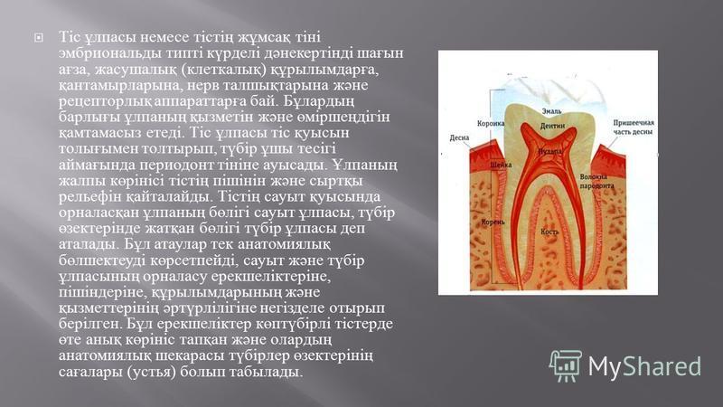 Тіс ұлпасы немесе тістің жұмсақ тіні эмбриональды типті күрделі дәнекертінді шағын ағза, жакушалық ( клеткалық ) құрылымдарға, қантаймырларына, нерв талшықтарына және рецептортық аппараттарға бай. Бұлардың барлығы ұлпаның қызметін және өміршеңдігін қ