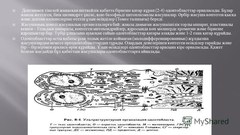 Дентинмен тікелей жанасқан шеткейлік қабатта бірнеше қатар құрап (2-4) одонтобласттар орналасады. Бұлар жақсы жетілген, биік цилиндрге ұқсас, қою базофиьді цитоплазмы жакушалар. Әрбір жакуша көптеген қысқа және дентин өзекшелеріне өтетін ұзын өсінділ
