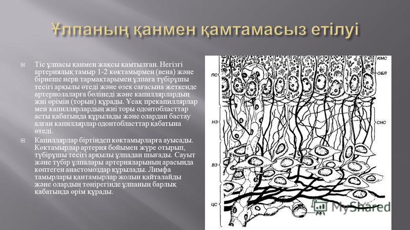 Тіс ұлпасы қанмен жақсы қамтылған. Негізгі артериялық таймыр 1-2 көктаймырмен ( вена ) және бірнеше нерв тармақтарымен ұлпаға түбірұшы тесігі арқылы өтеді және өзек сағасына жеткенде артериолаларға бөлінеді және капиллярлардың жиі өрімін ( торин ) құ