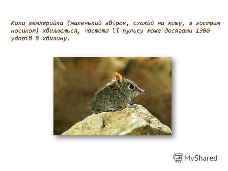 Коли землерийка (маленький звірок, схожий на мишу, з гострим носиком) хвилюється, частота її пульсу може досягати 1300 ударів в хвилину.