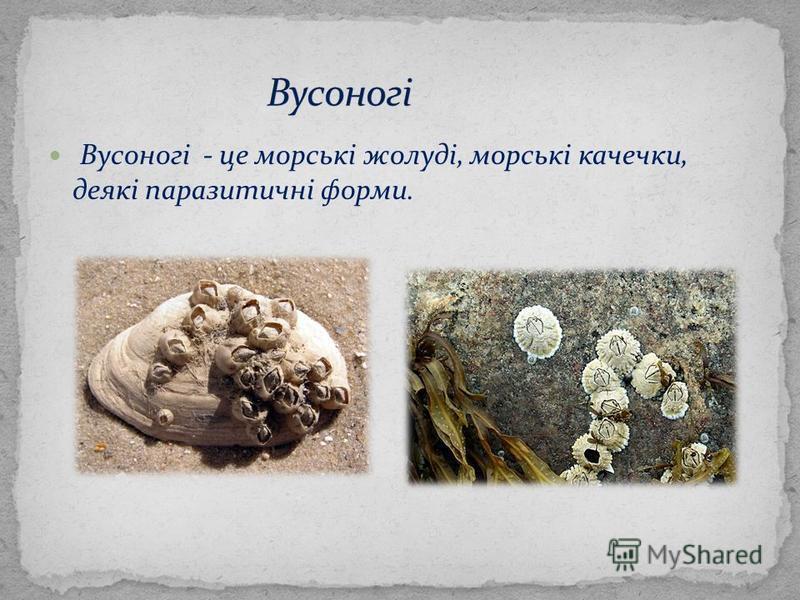 Вусоногі - це морські жолуді, морські качечки, деякі паразитичні форми.