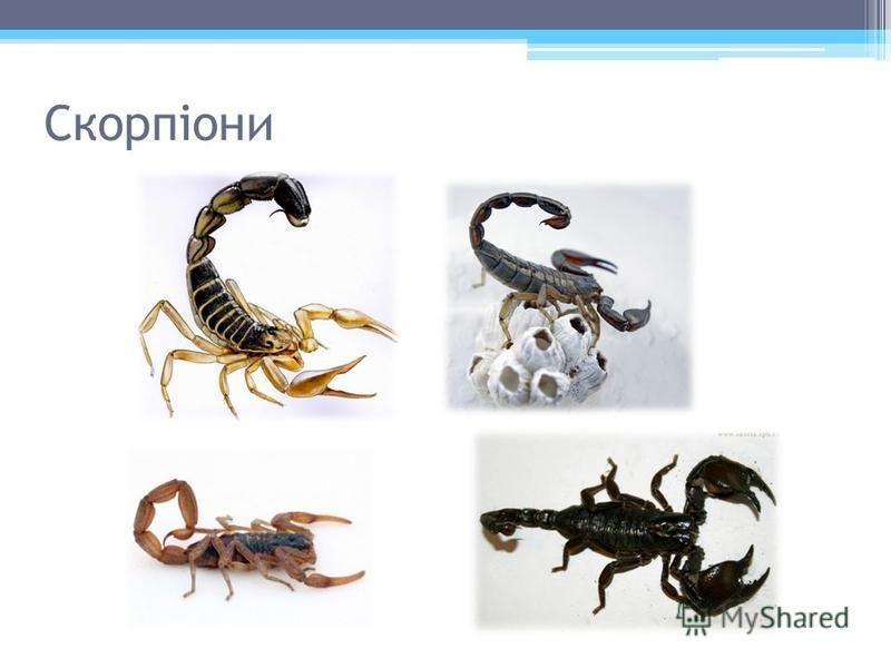 Скорпіони