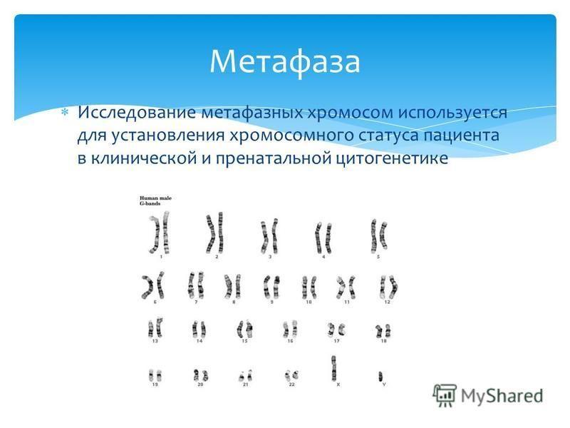 Исследозвание метафазных хромосом используется для установления хромосомного статуса пациента в клинической и пренатальной цитогенетике Метафаза