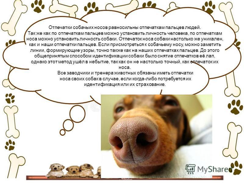 Отпечатки собачьих носов равносильны отпечаткам пальцев людей. Так же как по отпечаткам пальцев можно установить личность человека, по отпечаткам носа можно установить личность собаки. Отпечаток носа собаки настолько же уникален, как и наши отпечатки