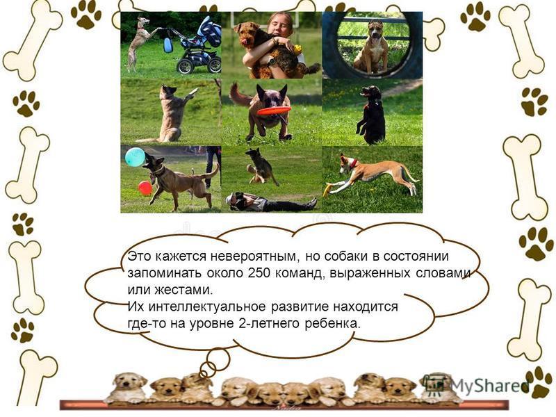 Это кажется невероятным, но собаки в состоянии запоминать около 250 команд, выраженных словами или жестами. Их интеллектуальное развитие находится где-то на уровне 2-летнего ребенка.
