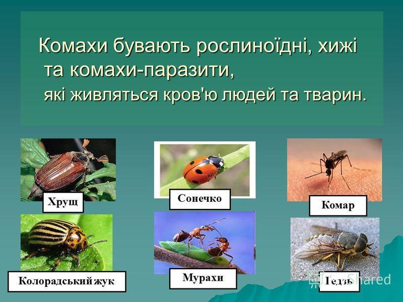 Комахи бувають рослиноїдні, хижі та комахи-паразити, та комахи-паразити, які живляться кров'ю людей та тварин. які живляться кров'ю людей та тварин. Хрущ Колорадський жук Мурахи Сонечко Комар Ґедзь