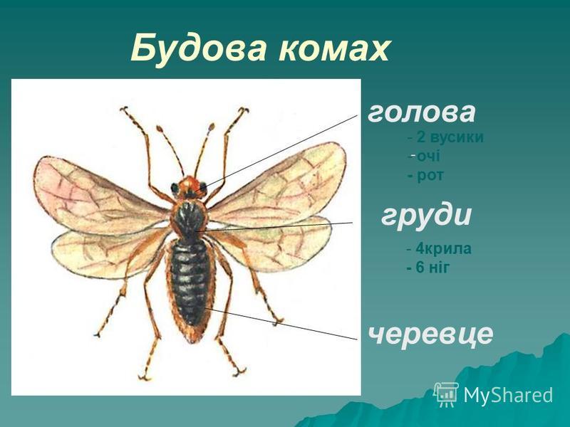 голова груди черевце - - 2 вусики - очі - рот - 4крила - 6 ніг Будова комах