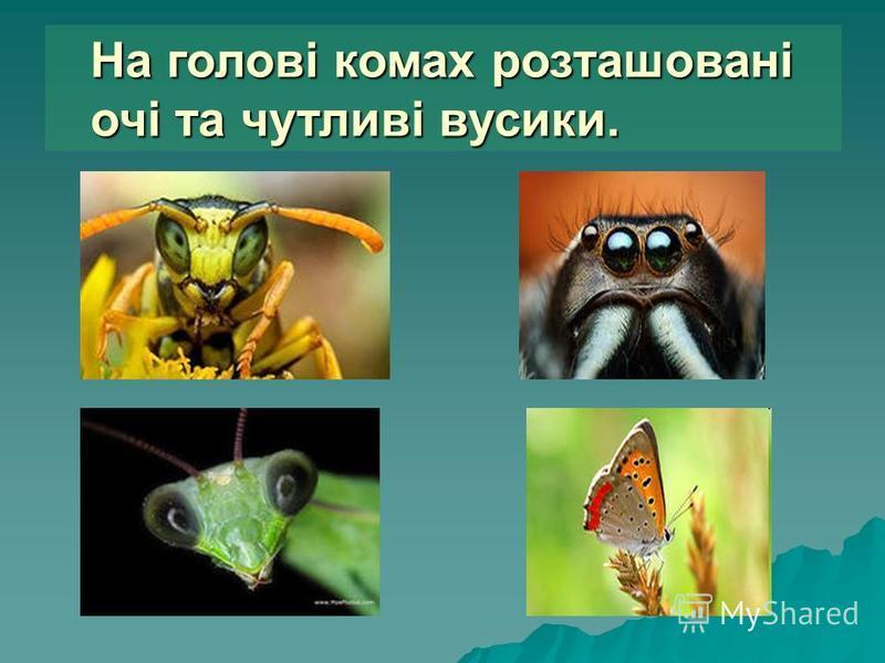 На голові комах розташовані очі та чутливі вусики.