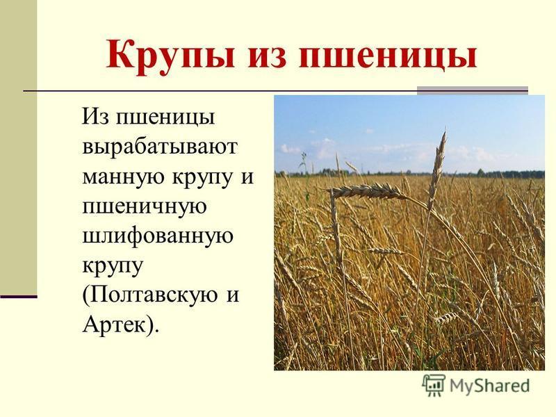 Крупы из пшеницы Из пшеницы вырабатывают манную крупу и пшеничную шлифованную крупу (Полтавскую и Артек).