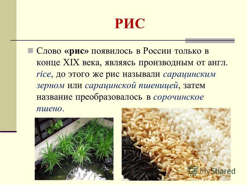 РИС Слово «рис» появилось в России только в конце XIX века, являясь производным от англ. rice, до этого же рис называли сарацинским зерном или сарацинской пшеницей, затем название преобразовалось в сорочинское пшено.