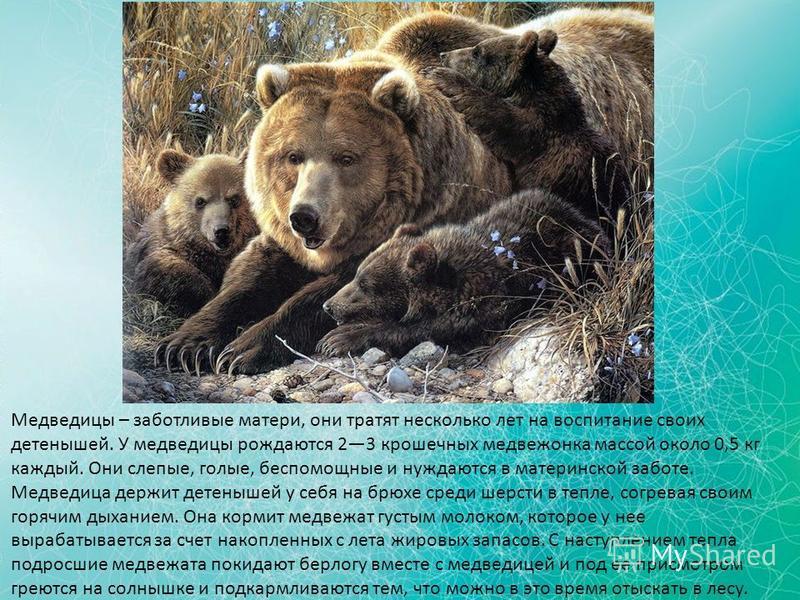 Медведицы – заботливые матери, они тратят несколько лет на воспитание своих детенышей. У медведицы рождаются 23 крошечных медвежонка массой около 0,5 кг каждый. Они слепые, голые, беспомощные и нуждаются в материнской заботе. Медведица держит детеныш