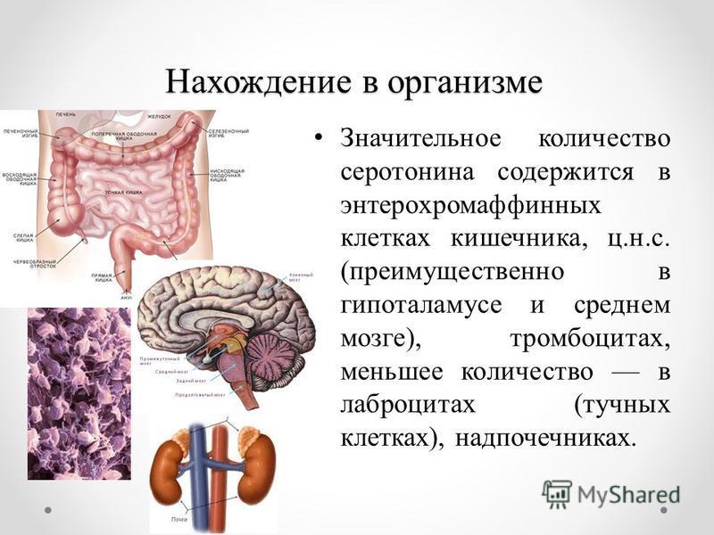 Нахождение в организме Значительное количество серотонина содержится в энтерохромаффинных клетках кишечника, ц.н.с. (преимущественно в гипоталамусе и среднем мозге), тромбоцитах, меньшее количество в лаброцитах (тучных клетках), надпочечниках.