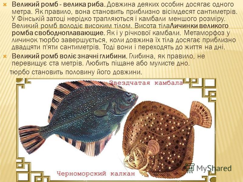 Великий ромб - велика риба. Довжина деяких особин досягає одного метра. Як правило, вона становить приблизно вісімдесят сантиметрів. У Фінській затоці нерідко трапляються і камбали меншого розміру. Великий ромб володіє високим тілом. Висота тілаЛичин