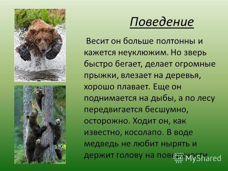 Поведение Весит он больше полтонны и кажется неуклюжим. Но зверь быстро бегает, делает огромные прыжки, влезает на деревья, хорошо плавает. Еще он поднимается на дыбы, а по лесу передвигается бесшумно, осторожно. Ходит он, как известно, косолапо. В в