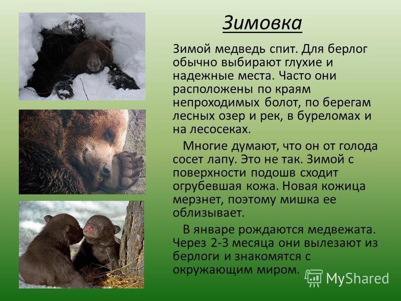 Зимовка Зимой медведь спит. Для берлог обычно выбирают глухие и надежные места. Часто они расположены по краям непроходимых болот, по берегам лесных озер и рек, в буреломах и на лесосеках. Многие думают, что он от голода сосет лапу. Это не так. Зимой