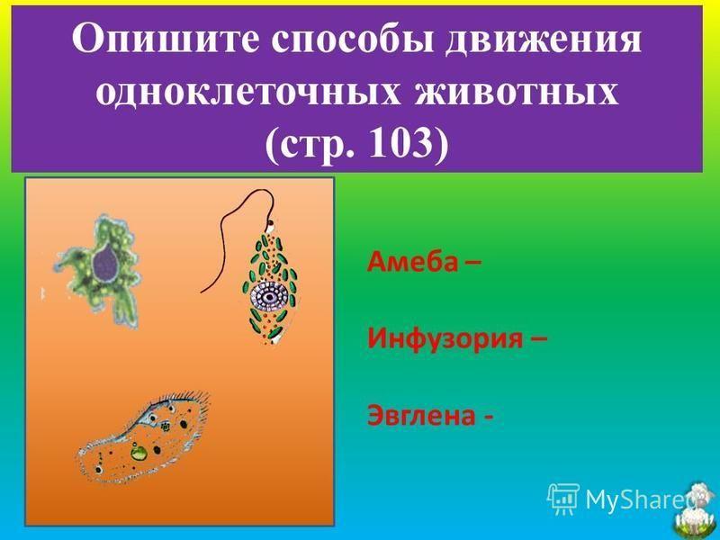 Опишите способы движения одноклеточных животных (стр. 103) Амеба – Инфузория – Эвглена -