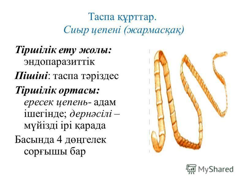 Таспа құрттар. Сиыр цепені (жармасқақ) Тіршілік ету жолы: эндопаразиттік Пішіні: таспа тәріздес Тіршілік ортасы: ппересек цепень- адам ішегінде; дернәсілі – мүйізді ірі қарада Басында 4 дөңгелек сорғышы бар