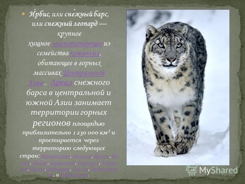Ирбис, или снежный барс, или снежный леопард крупное хищное млекопитающее из семейства кошачьих, обитающее в горных массивах Центральной Азии.. Ареал снежного барса в центральной и южной Азии занимает территории горных регионов площадью приблизительн