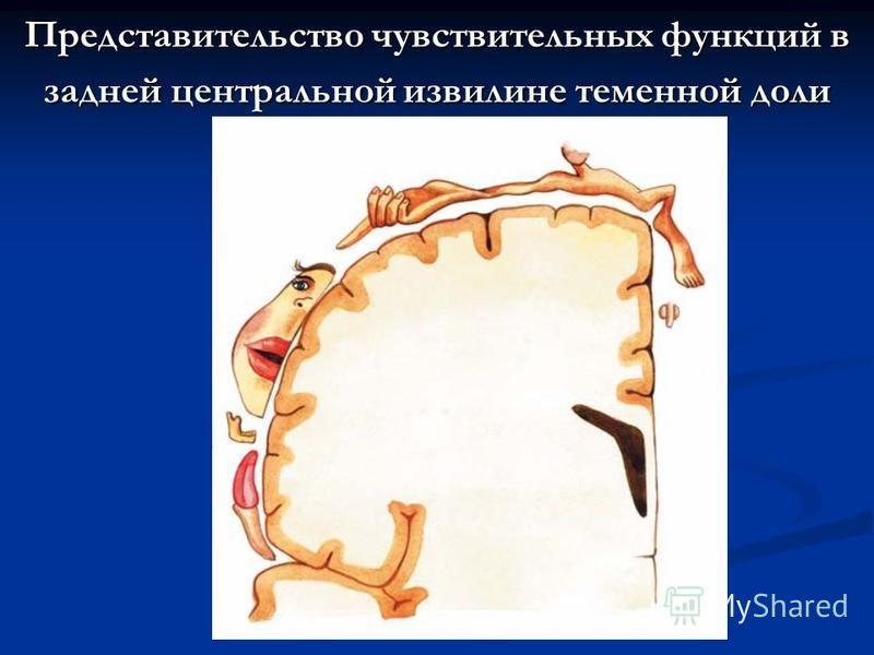 Представительство чувствительных функций в задней центральной извилине теменной доли