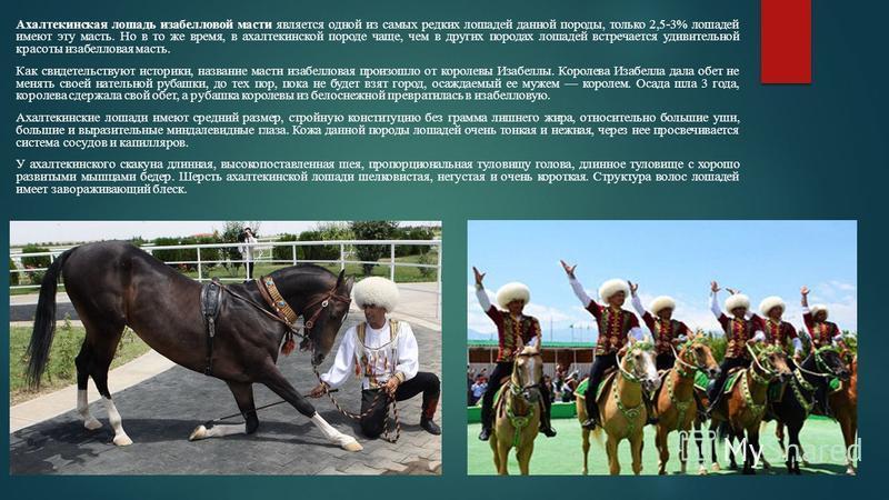 Ахалтекинская лошадь изабелловой масти является одной из самых редких лошадей данной породы, только 2,5-3% лошадей имеют эту масть. Но в то же время, в ахалтекинской породе чаще, чем в других породах лошадей встречается удивительной красоты изабеллов