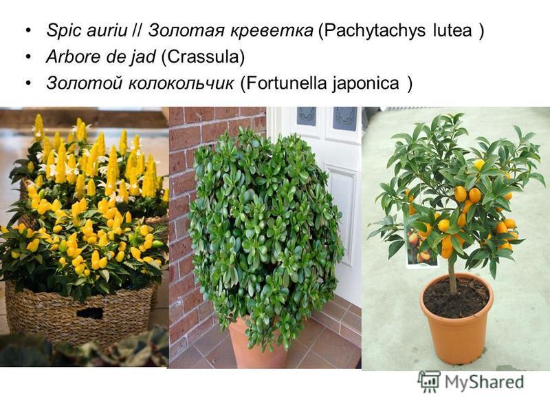 Spic auriu // Золотая креветка (Pachytachys lutea ) Arbore de jad (Crassula) Золотой колокольчик (Fortunella japonica )