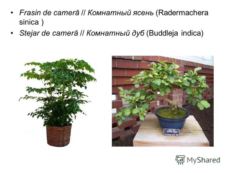 Frasin de cameră // Комнатный ясень (Radermachera sinica ) Stejar de cameră // Комнатный дуб (Buddleja indica)