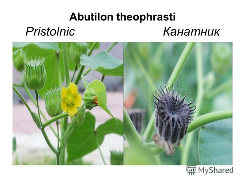 Abutilon theophrasti Pristolnic Канатник