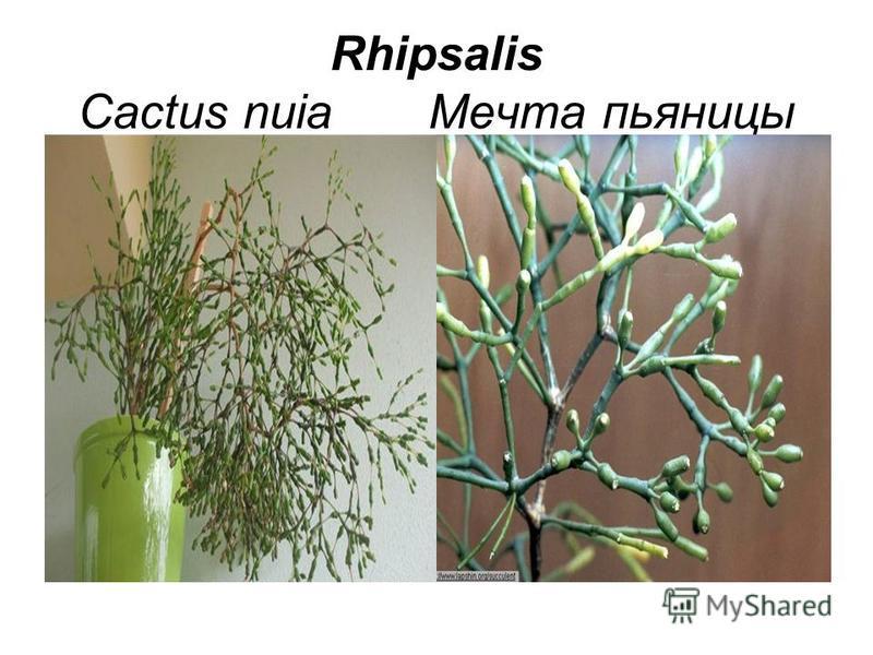 Rhipsalis Cactus nuia Мечта пьяницы
