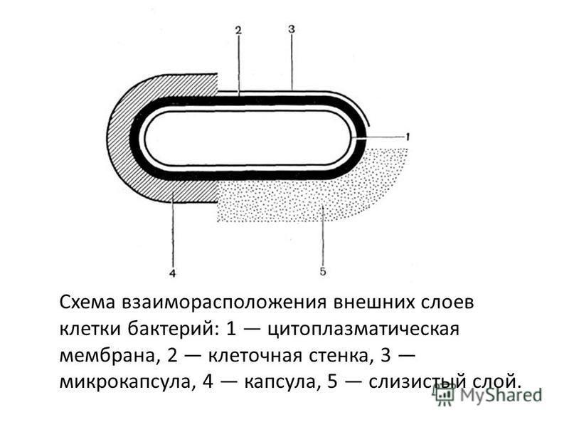 Схема взаиморасположения внешних слоев клетки бактерий: 1 цитоплазматическая мембрана, 2 клеточная стенка, 3 микрокапсула, 4 капсула, 5 слизистый слой.