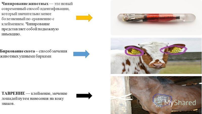 Чипирование животных это новый современный способ идентификации, который значительно менее болезненный по сравнению с клеймением. Чипирование представляет собой подкожную инъекцию. Биркование скота – способ мечения животных ушными бирками ТАВРЕНИЕ кл