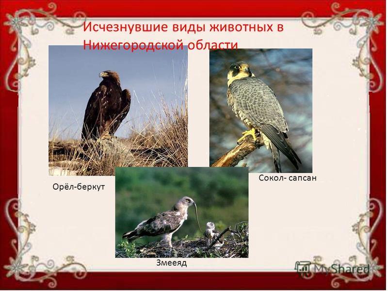 Орёл-беркут Змееяд Сокол- сапсан Исчезнувшие виды животных в Нижегородской области