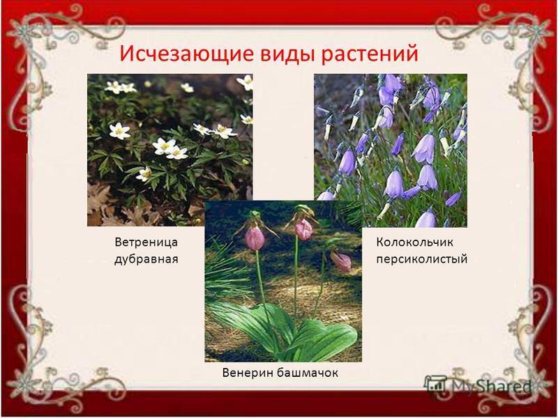 Ветреница дубравная Колокольчик персиколистый Венерин башмачок Исчезающие виды растений