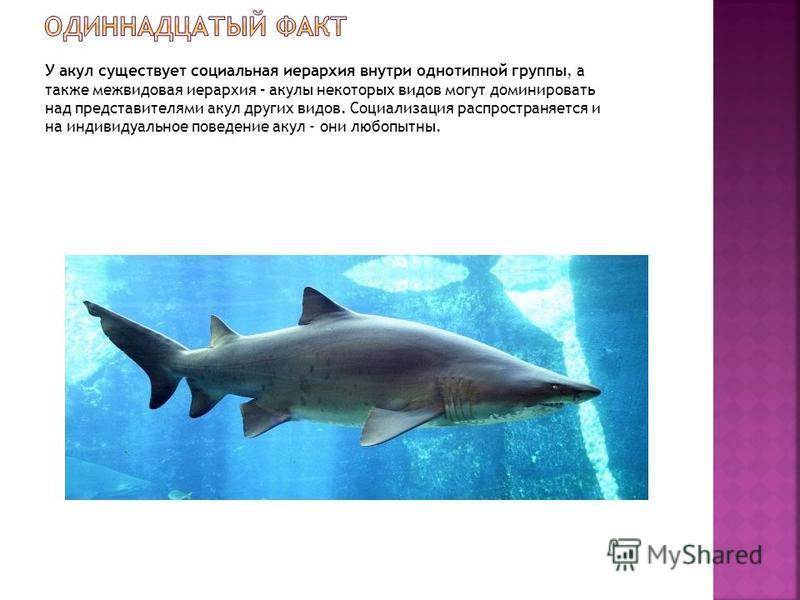 У акул существует социальная иерархия внутри однотипной группы, а также межвидовая иерархия – акулы некоторых видов могут доминировать над представителями акул других видов. Социализация распространяется и на индивидуальное поведение акул - они любоп