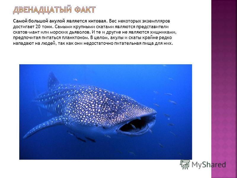 Самой большой акулой является китовая. Вес некоторых экземпляров достигает 20 тонн. Самыми крупными скатами являются представители скатов-мант или морских дьяволов. И те и другие не являются хищниками, предпочитая питаться планктоном. В целом, акулы