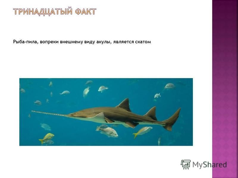 Рыба-пила, вопреки внешнему виду акулы, является скатом