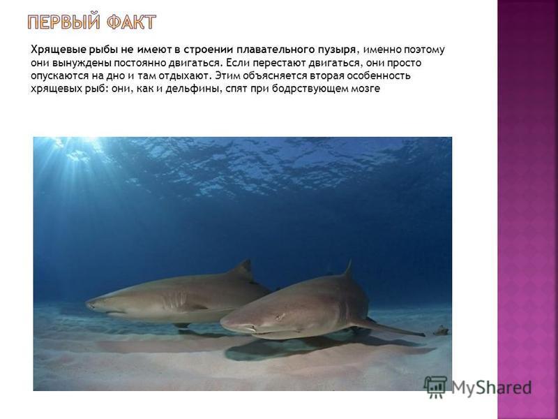 Хрящевые рыбы не имеют в строении плавательного пузыря, именно поэтому они вынуждены постоянно двигаться. Если перестают двигаться, они просто опускаются на дно и там отдыхают. Этим объясняется вторая особенность хрящевых рыб: они, как и дельфины, сп
