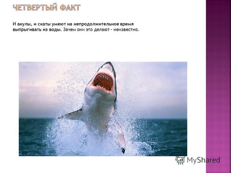 И акулы, и скаты умеют на непродолжительное время выпрыгивать из воды. Зачем они это делают – неизвестно.