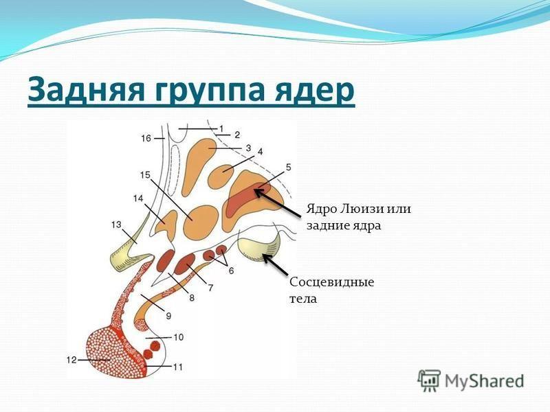 Задняя группа ядер Ядро Люизи или задние ядра Сосцевидные тела