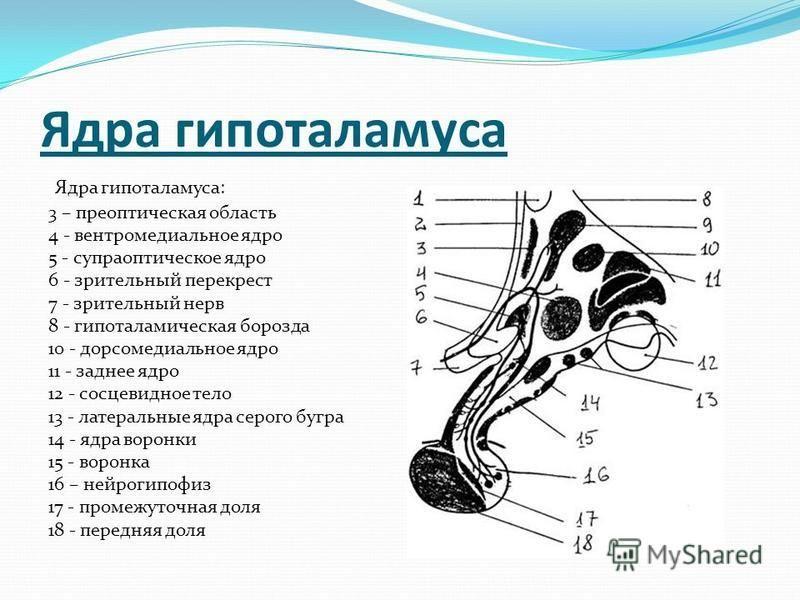 Ядра гипоталамуса Ядра гипоталамуса: 3 – преоптическая область 4 - вентромедиальное ядро 5 - супраоптическое ядро 6 - зрительный перекрест 7 - зрительный нерв 8 - гипоталамическая борозда 10 - дорсомедиальное ядро 11 - заднее ядро 12 - сосцевидное те