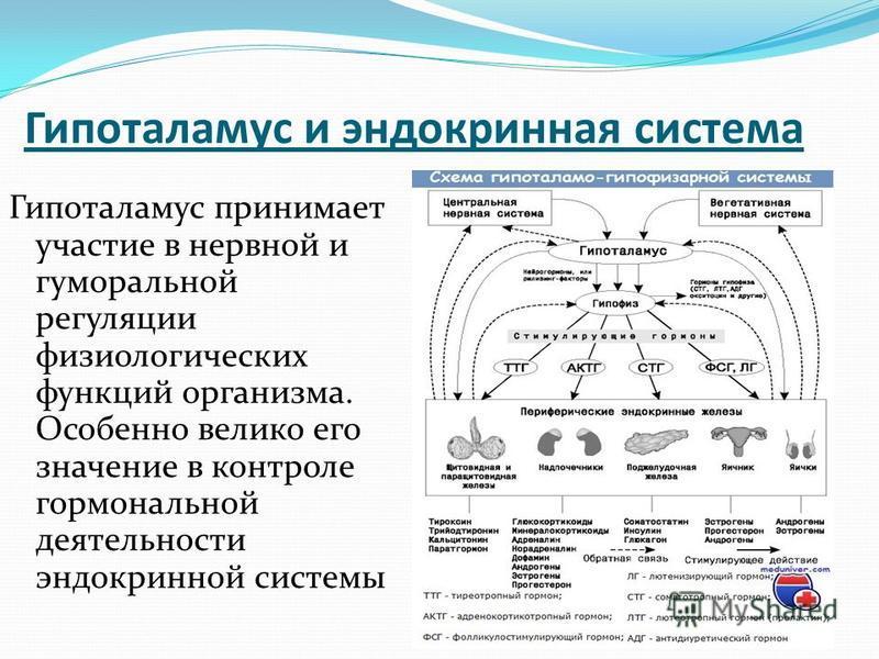 Гипоталамус и эндокринная система Гипоталамус принимает участие в нервной и гуморальной регуляции физиологических функций организма. Особенно велико его значение в контроле гормональной деятельности эндокринной системы