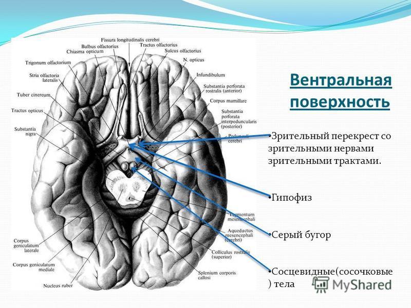 Вентральная поверхность Зрительный перекрест со зрительными нервами зрительными трактами. Гипофиз Серый бугор Сосцевидные(сосочковые ) тела