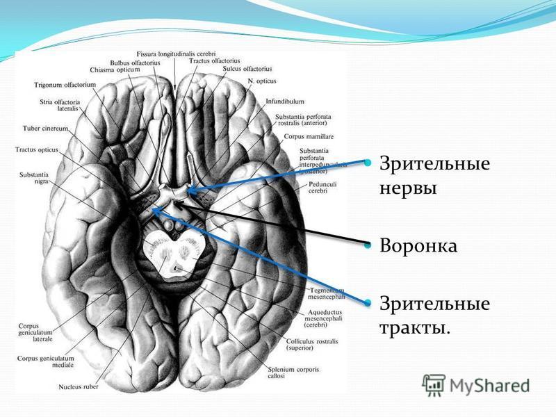 Зрительные нервы Воронка Зрительные тракты.