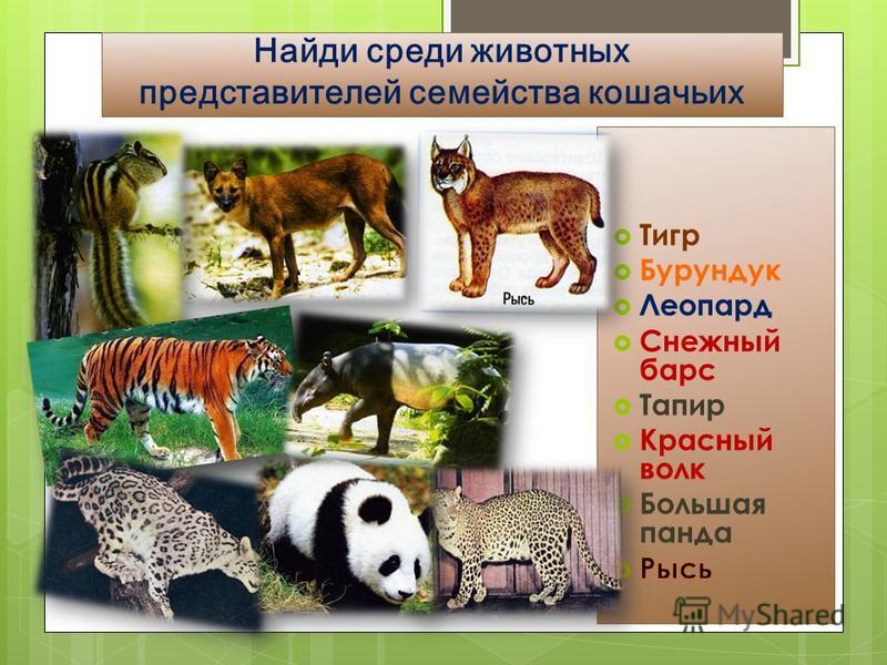 Найди среди животных представителей семейства кошачьих