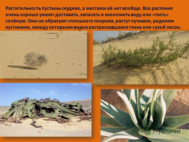 Растительность пустынь скудная, а местами её нет вообще. Все растения очень хорошо умеют доставать, запасать и экономить воду или «пить» солёную. Они не образуют сплошного покрова, растут пучками, редкими кустиками, между которыми видна растрескавшая