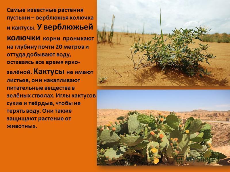 Самые известные растения пустыни – верблюжья колючка и кактусы. У верблюжьей колючки корни проникают на глубину почти 20 метров и оттуда добывают воду, оставаясь все время ярко- зелёной. Кактусы не имеют листьев, они накапливают питательные вещества