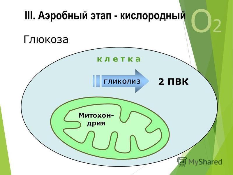 III. Аэробный этап - кислородный О2О2 Митохон- дрия 2 ПВК гликолиз к л е т к а Глюкоза